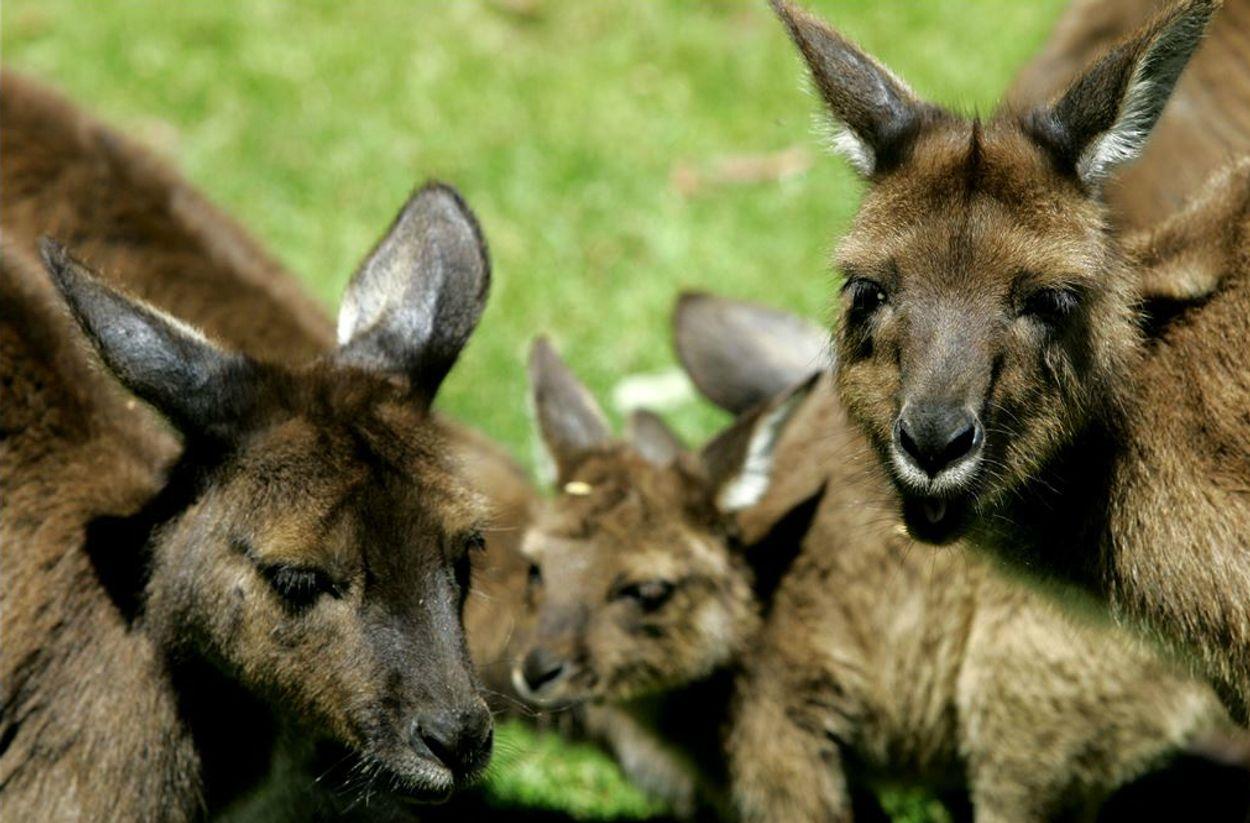 Afbeelding van De jacht op de kangoeroe