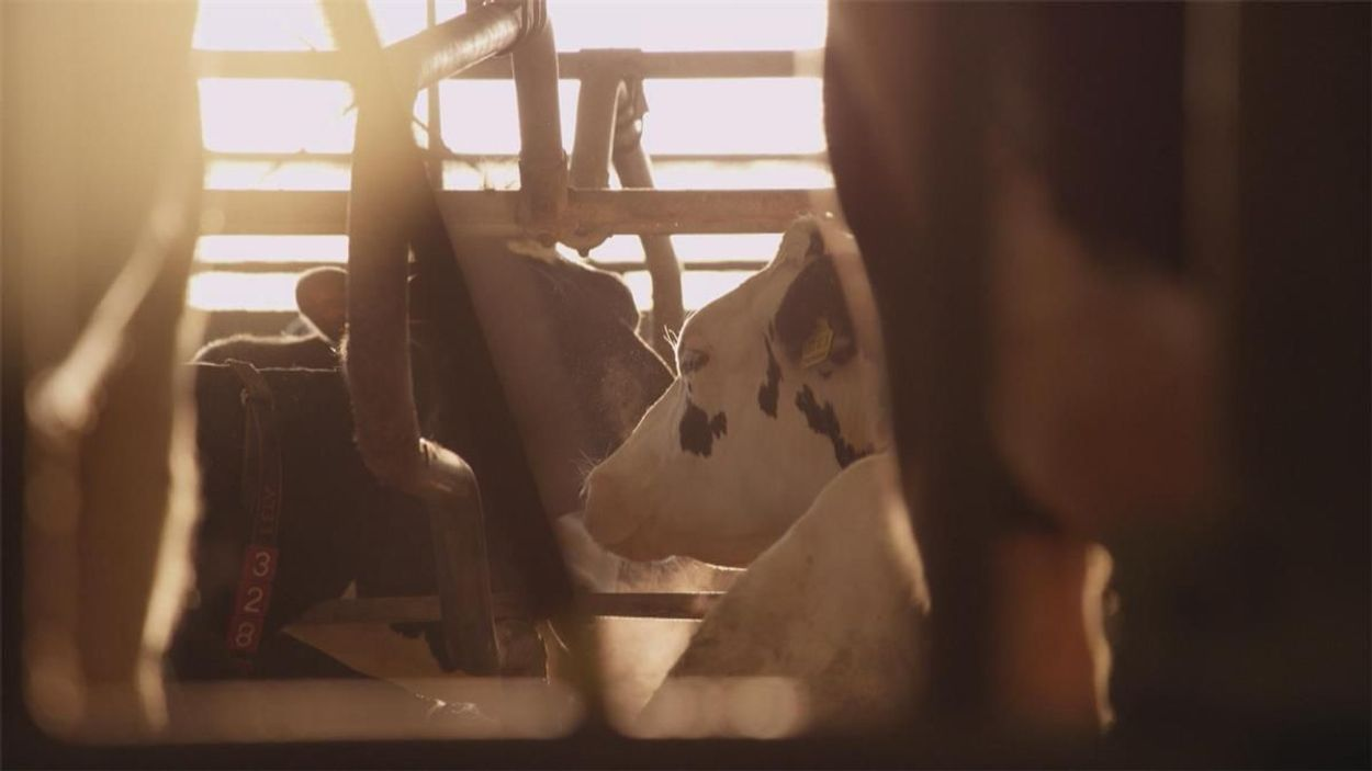 Afbeelding van 'Koeien zijn wegwerpproducten geworden'