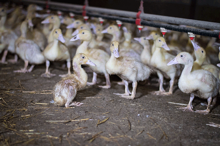 Afbeelding van Schokkende undercoverbeelden tonen dierenmishandelingen in eendenfokkerij