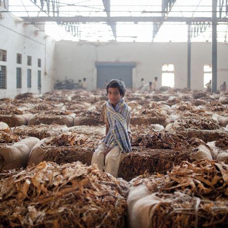 Afbeelding van De bittere bladeren van de tabaksindustrie