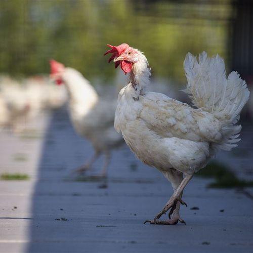 Afbeelding van Pluimveeorganisaties willen ophokplicht vanwege vogelgriep uit Oost-Europa