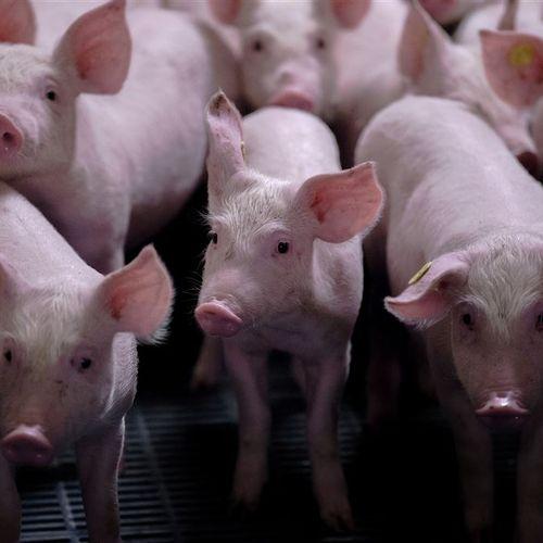 Afbeelding van D66 wil veestapel halveren, boerenorganisatie LTO noemt plan 'bizar'