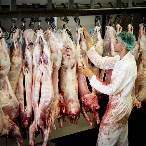 Afbeelding van Van illegale slacht geredde schapen eindigen alsnog in het slachthuis