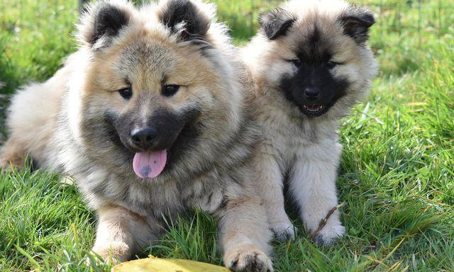 Afbeelding van Dierenorganisaties starten 'hondenmarktplaats' om misstanden fokkerij tegen te gaan